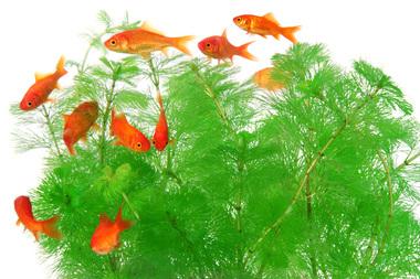 Goldfish_beizjp_s011101