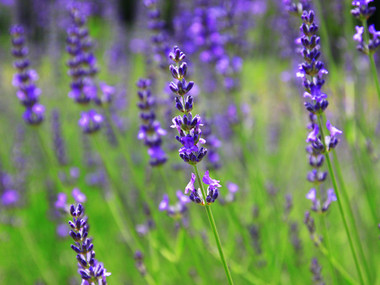 Lavender_0161